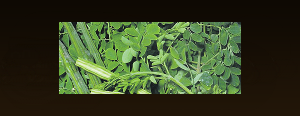 Australian Moringa available internationally